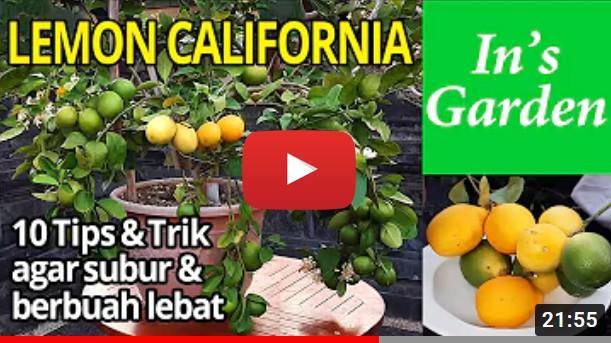 video thumbnail lemon california